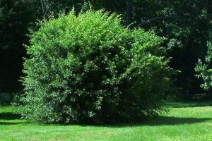 yard bush removal